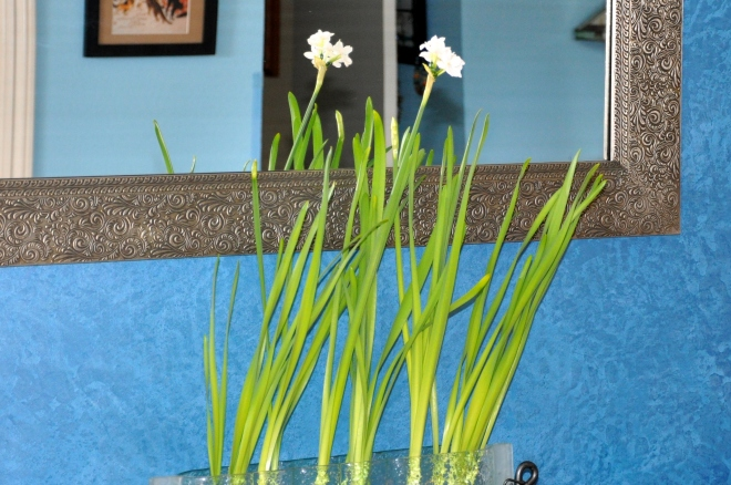 paperwhites in bloom