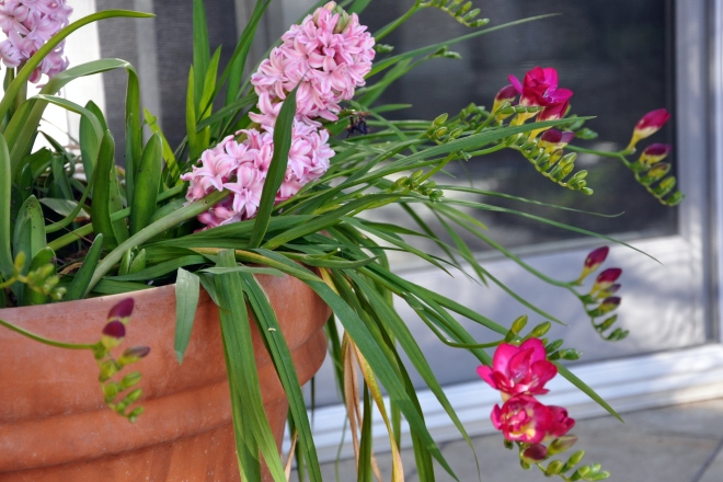 pink hyacinth and fuchsia freesia