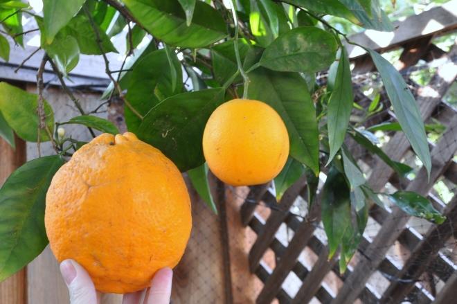 pair of oranges