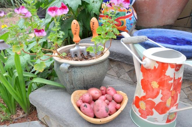 garden snapshot potatoes, watering can, geranium