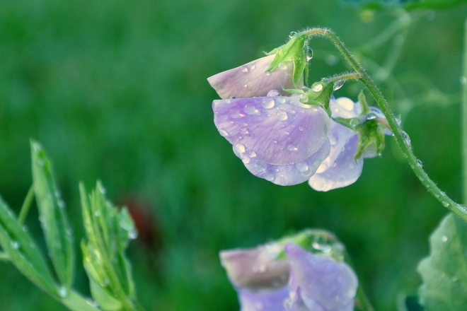 sweet peas with dew drops