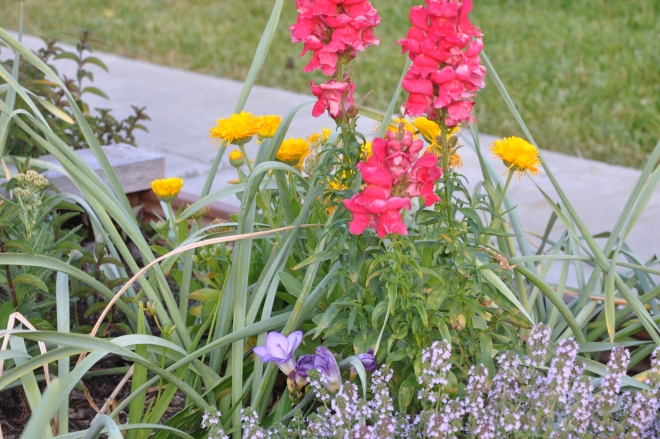 curb garden snap dragons, freesia