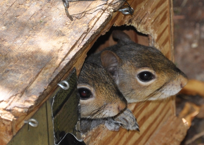 baby squirrels in box