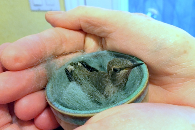 hummingbird in homemade nest