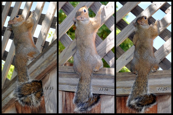 squirrel hanging on to fence collage