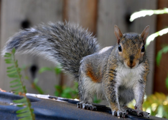 squirrel in garden