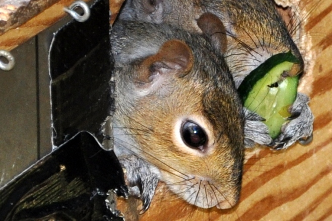 squirrel eating cucumber in box