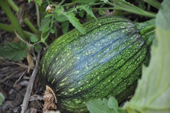 green pumpkin 2015