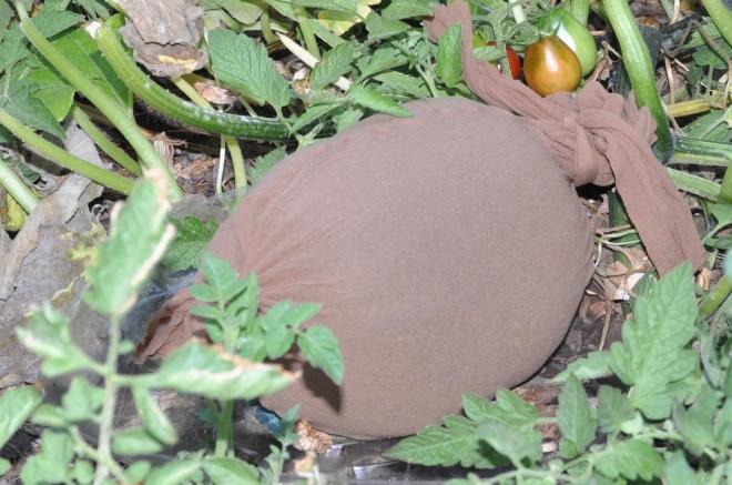 pumpkin under cover-001