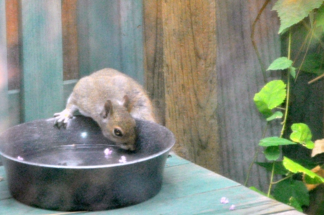 squirrel drinking water
