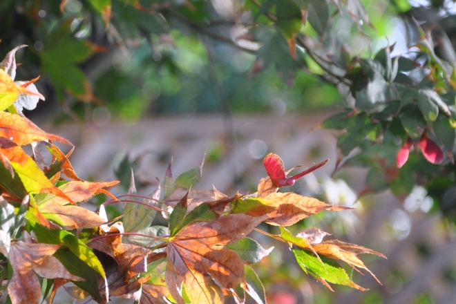 Acer palmatum 'Bloodgood' or Japanese Maple