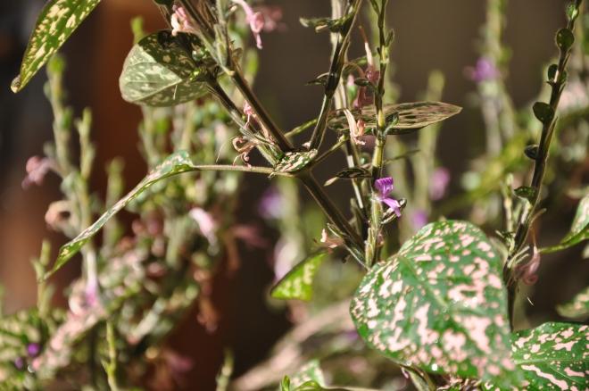 Polka dot plants (Hypoestes phyllostachya)