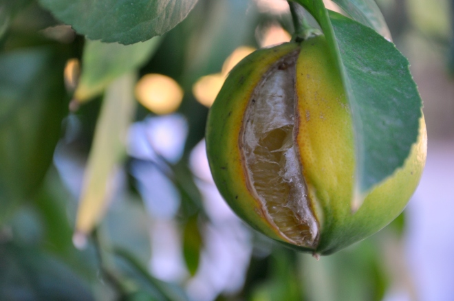 split lemon on tree