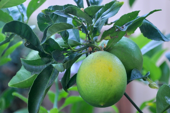 lemons turning yellow