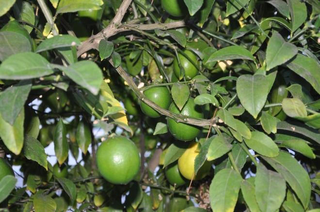 lemons turning yellow