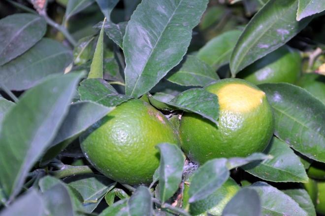 lemons and a web