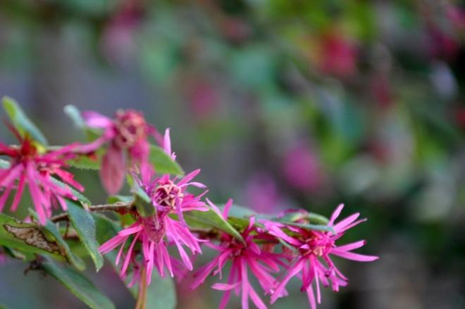 Loropetalum chinense or Chinese Fringe Flower