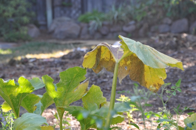decaying pumpkin leaves