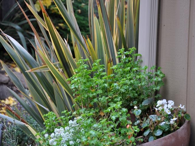 alysum, geranium, begonia and flax