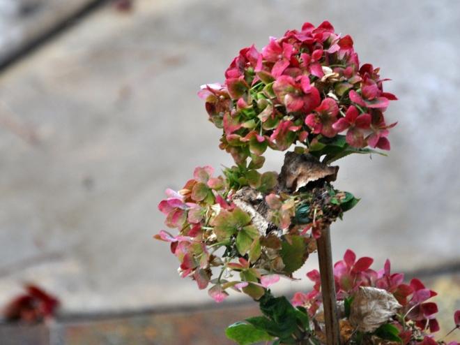 hydrangea cranberry