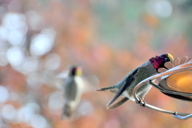 pair of hummingbirds at feeder