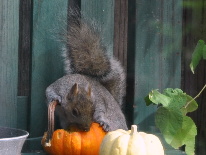 squirrel chewing on pumpkin