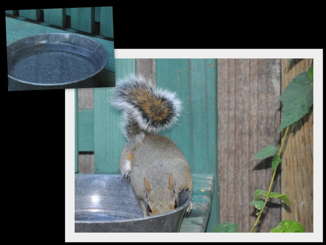 squirrel drinking from bowl