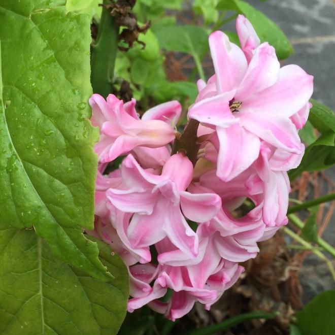 Fragrant Pink Hyacinth