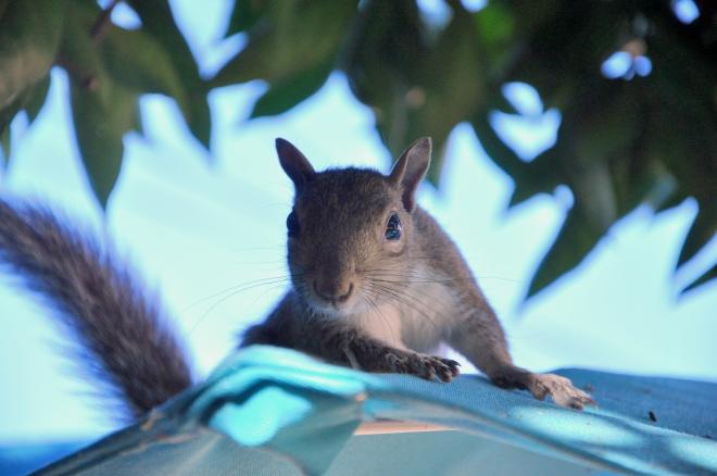 squirrel closeup on umbrella