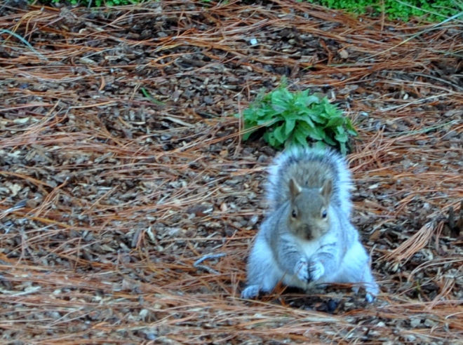 squirrel in football stance
