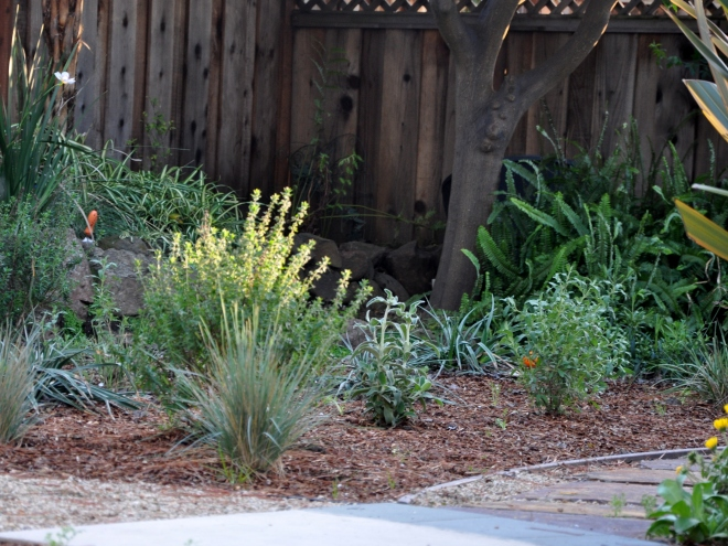 California Native Plants Replace the Lawn