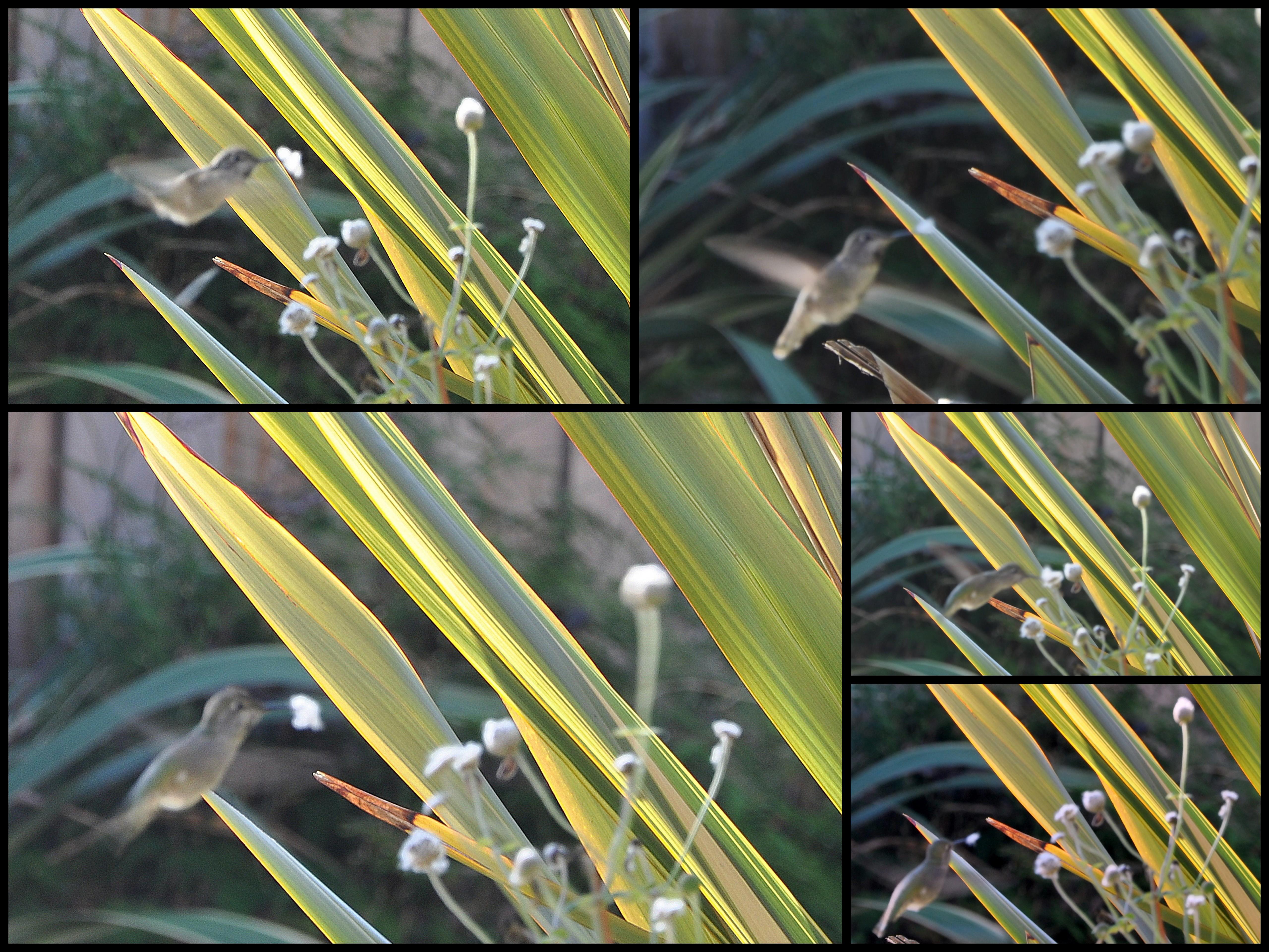 Los bebés del colibrí de Ana: De huevos a nido vacío | Jardines reales crecen naturales