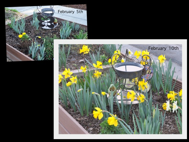daffodil collage feb 5 and 10