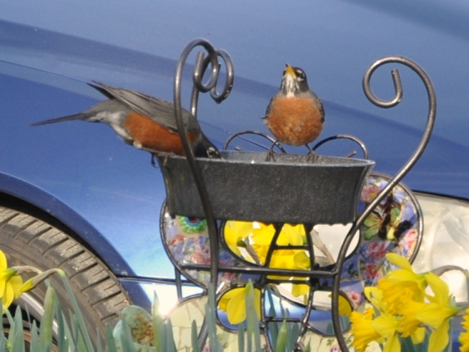 robins drinking from the fountain