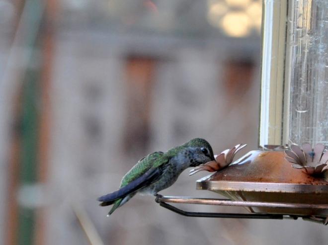 female anna's hummingbird at feeder