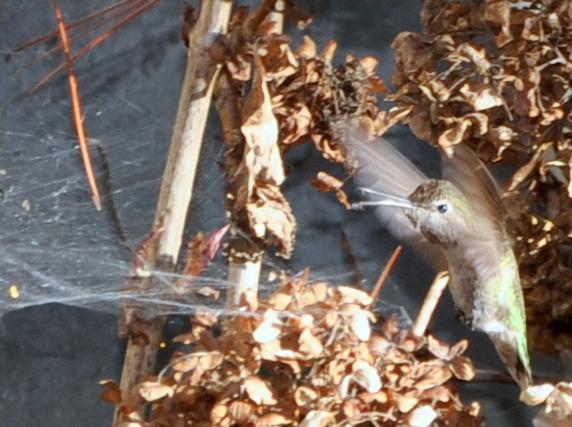 hummingbird gathering spiderwebbing