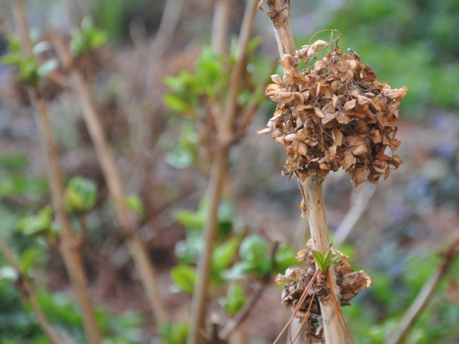 Hydrangea: Spent blooms and new growth