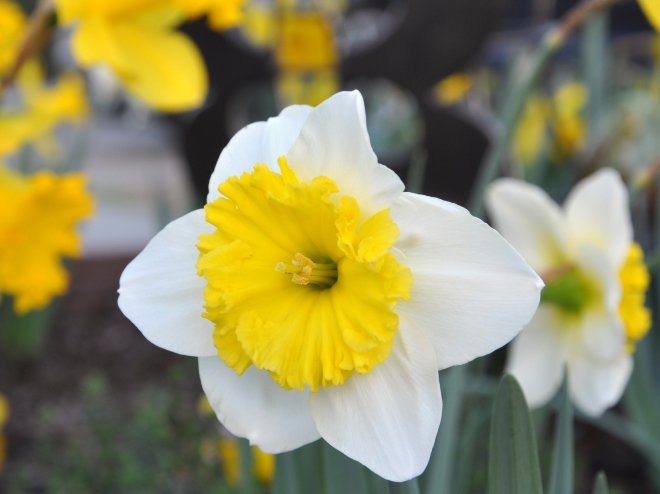 pair of two toned daffodil