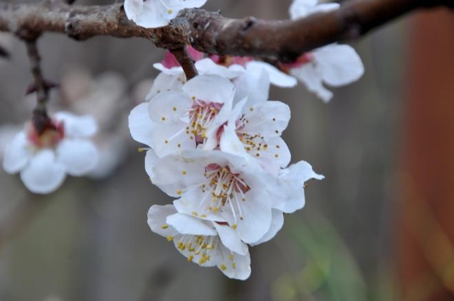 plum blossums