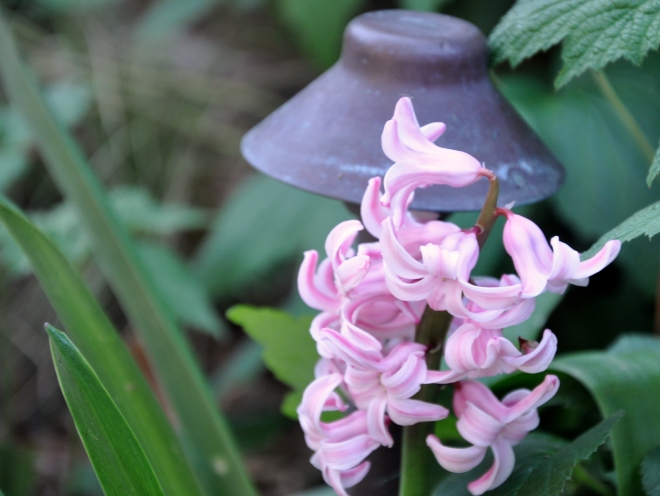 pink William and Kate hyacinth