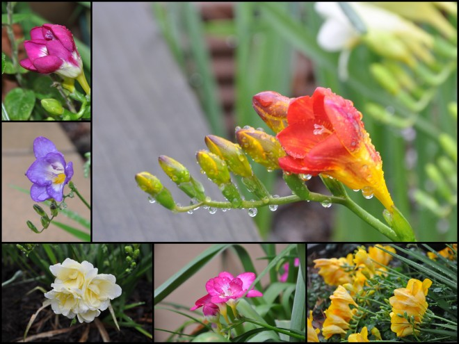 freesia collage