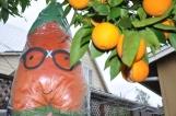 Yes, Gardenerd, those are California oranges