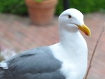 Seagull waiting for a handout