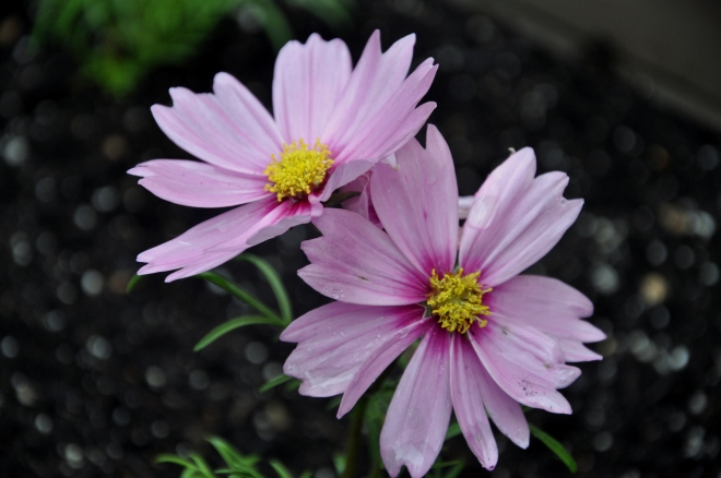 pair of pink cosmos