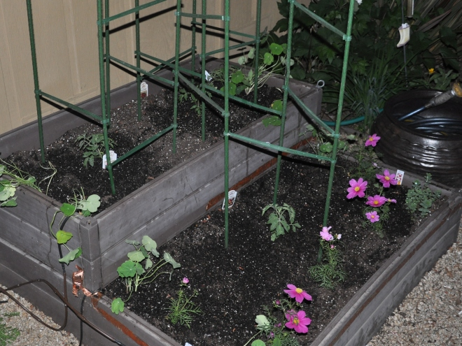 planter box two with tomatoes
