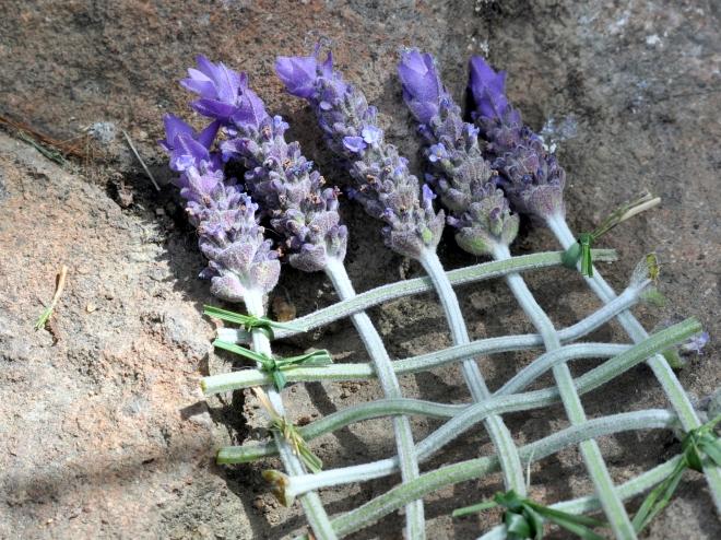 fairy garden lavender bed