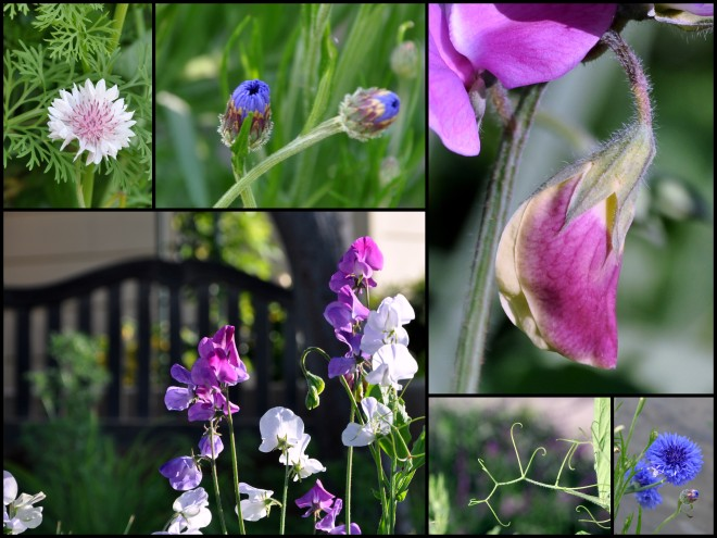 sweet pea blooms april 2016