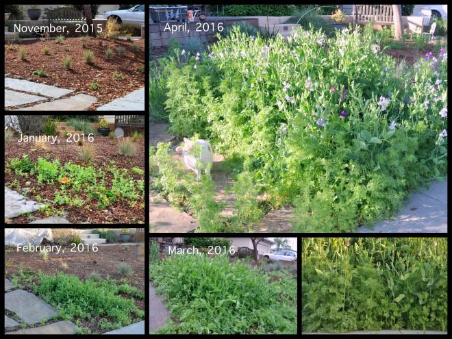 sweet pea collage Nov to April