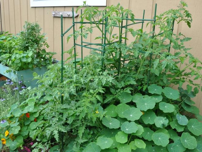 2016 garden tomatoes