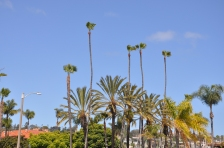 Towering San Diego palm trees